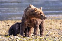 Mother Bear on alert while her cub nurses