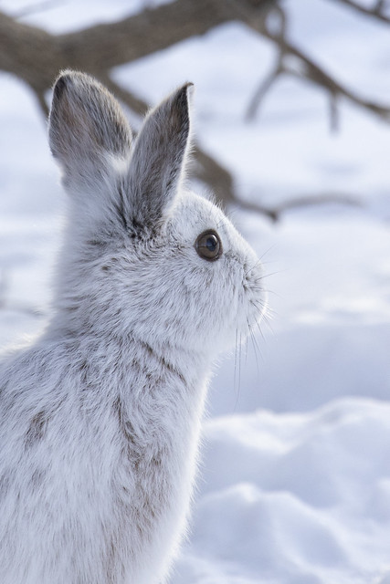 Fluffy Snowshoe hare