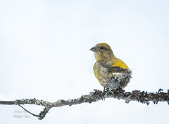 Red Crossbill (Female)