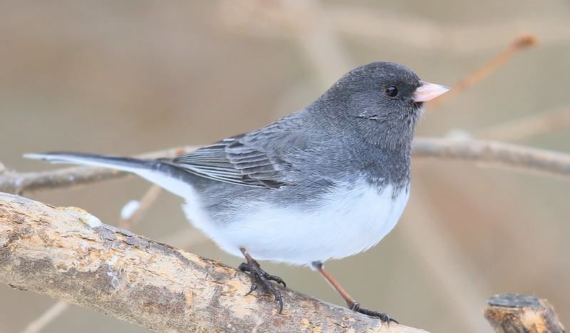dark-eyed junco at Lake Meyer Park IA 653A0707
