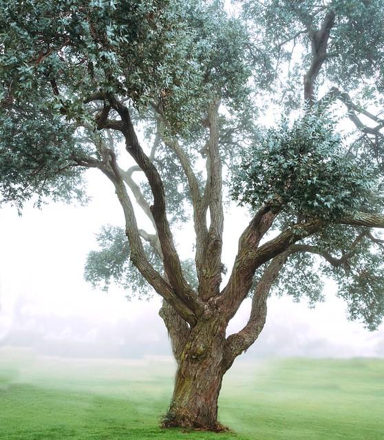 Foggy tree.