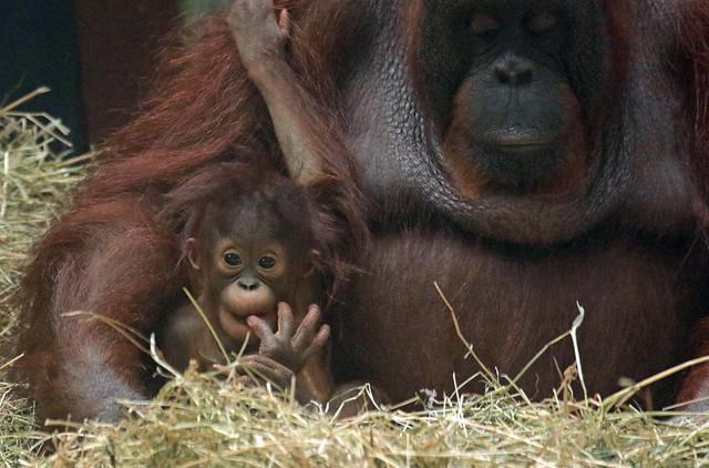 borneo orangutan Tjintha and Minggu Ouwehand BB2A0672