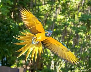 Blue-throated Macaw