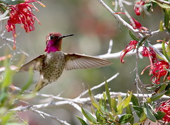 A male Anna's Hummingbird (Calypte Anna), surrounded by nectar-filled blooms