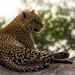leopard chill