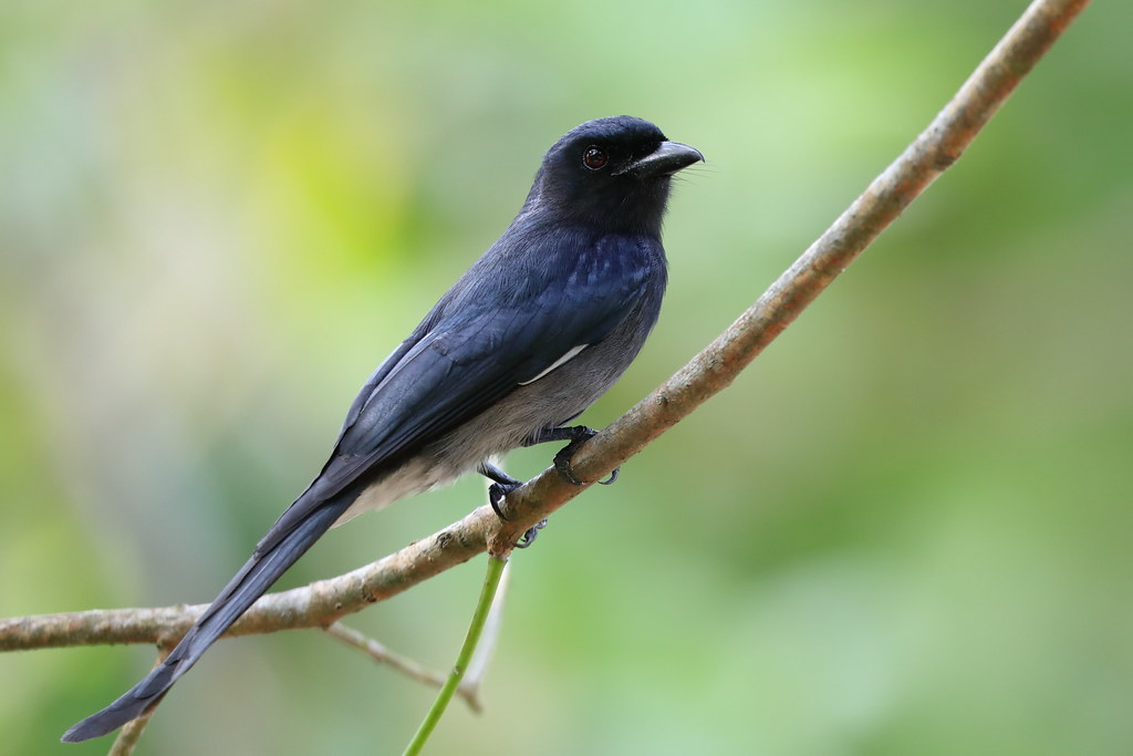White-bellied  Drongo  Dicrurus caerulescens