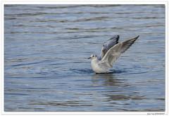 Billebaude alsacienne : une Mouette qui bat de l'aile !
