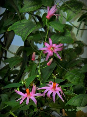 Passiflora tulae - Page 2 49428591023_1e8f4299be