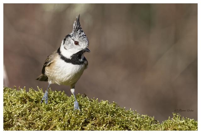 Mésange huppée - Lophophanes cristatus - European Crested
