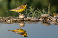 Black-headed bunting - Kappenammer