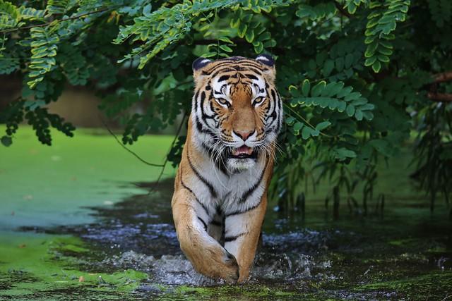 Tiger loves water