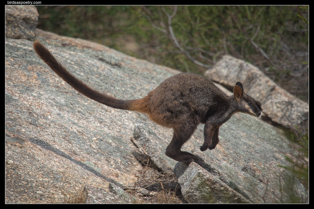 Brush-tailed Rock Wallaby: In flight