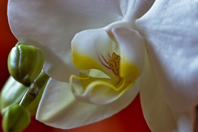 Orchidee - Detail