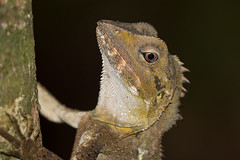 Southern Angle-headed dragon
