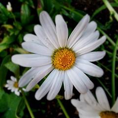 Fading Daisy