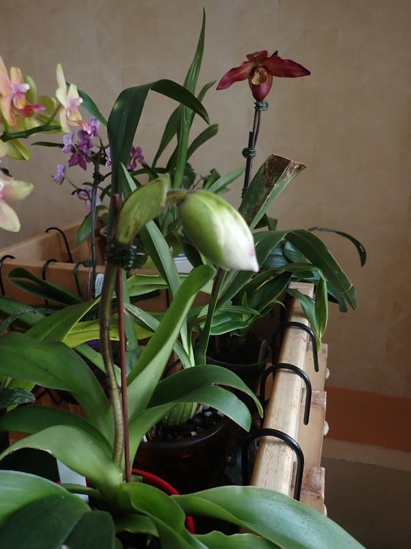 Les Orchidées chez Cloo en 2020 - Page 3 49429008523_7ba8142fa4_c