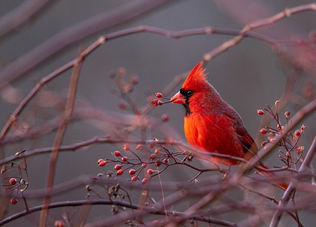 Male Northern Cardinal with Berries