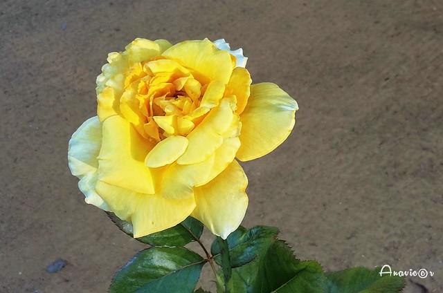 23_Una rosa callejera