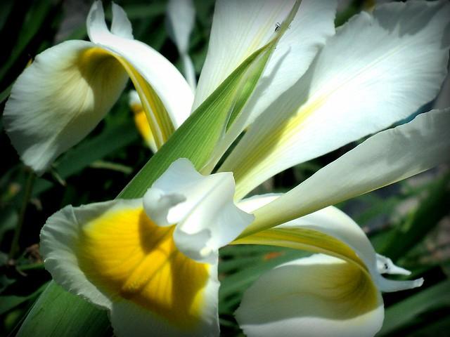 Sibirski beli Iris / Iris