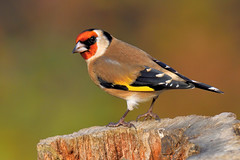 European Goldfinch - Photo (c) Tom Lee, some rights reserved (CC BY-NC-ND)
