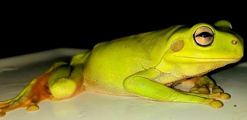 Greeny, The Green Tree Frog