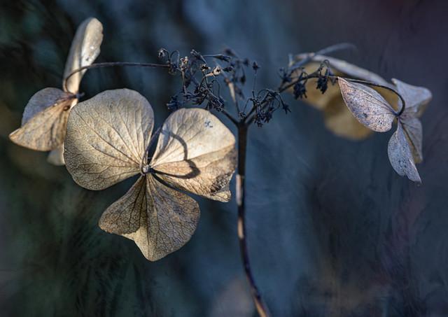 Dried Winter Petals