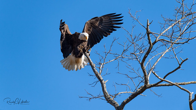 Bald Eagles of New Jersey | 2020 - 11