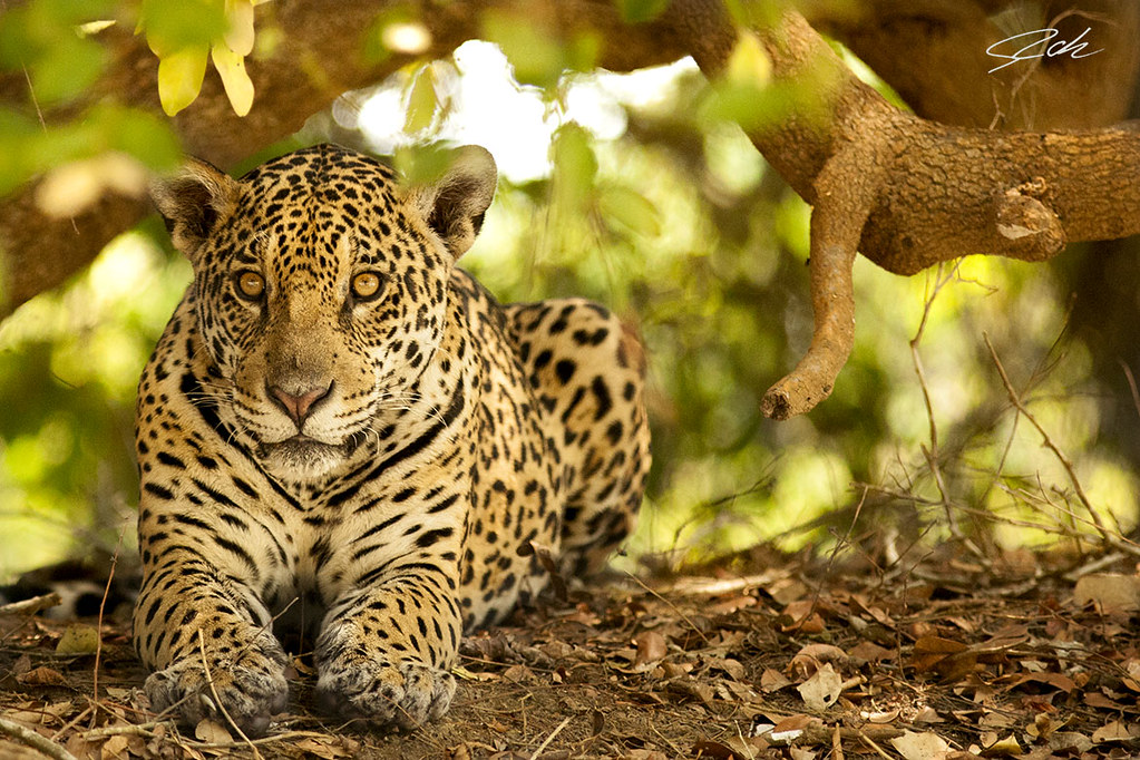 Wild brazilian jaguar, female of two years