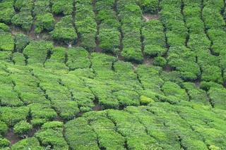 Tea plantation in Cameron Highland, Malaysia