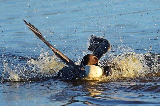 Pintail Fight