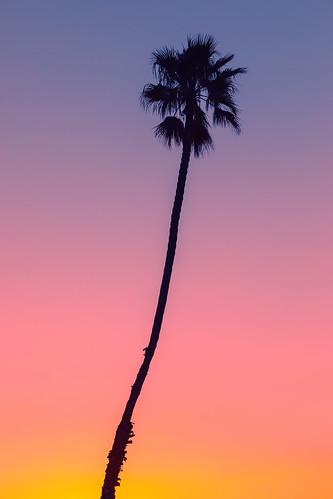 california palmtree silhouette gradient sunrise vertical nature westcoast morning minimalism minimal canoneos5dmarkiv nopeople outdoors canonef135mmf2lusm