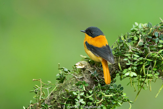 Black and Orange Flycatcher-2