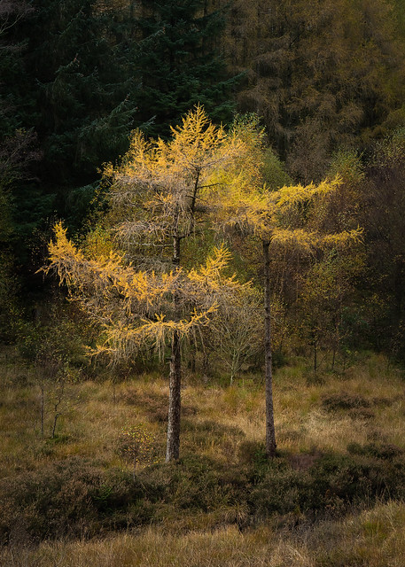 Golden Larch tree at Blea Tarn