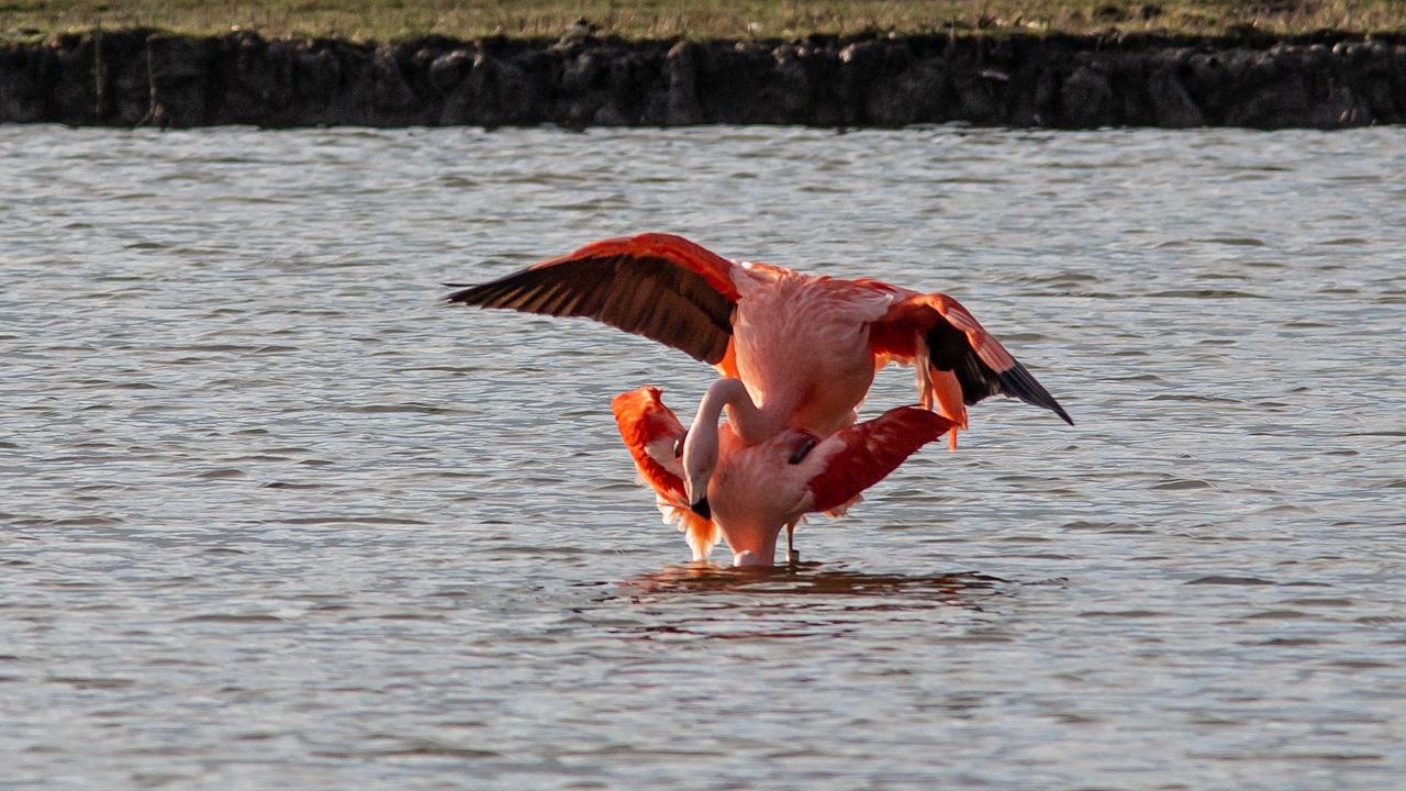 Flamingo-spec