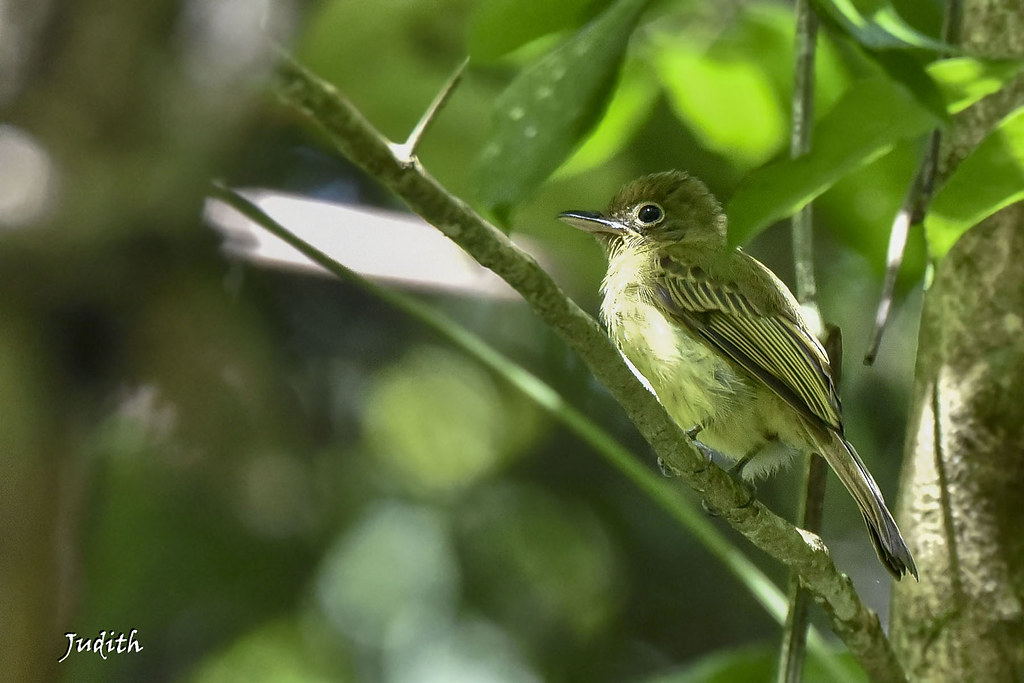 Platyrhynque olivâtre - Olivaceous Flatbill - Rhynchocyclus olivaceus