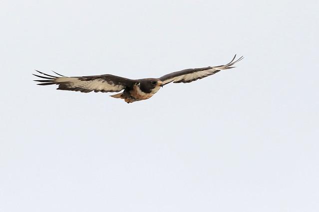 Buse rounoir - West Coast National Park/Western Cape/South Africa_20181206_006-1