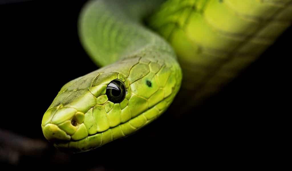 Utiliser du venin de serpent comme médicament