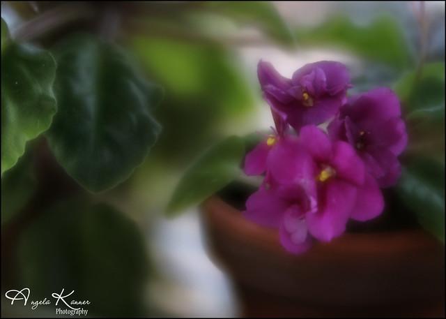 African Violets...