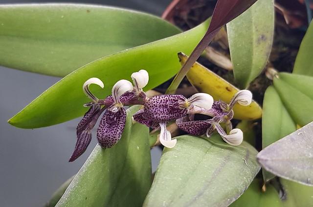 Acianthera strupifolia
