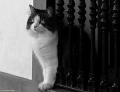 Soy el gato más guapo de mi pueblo.
