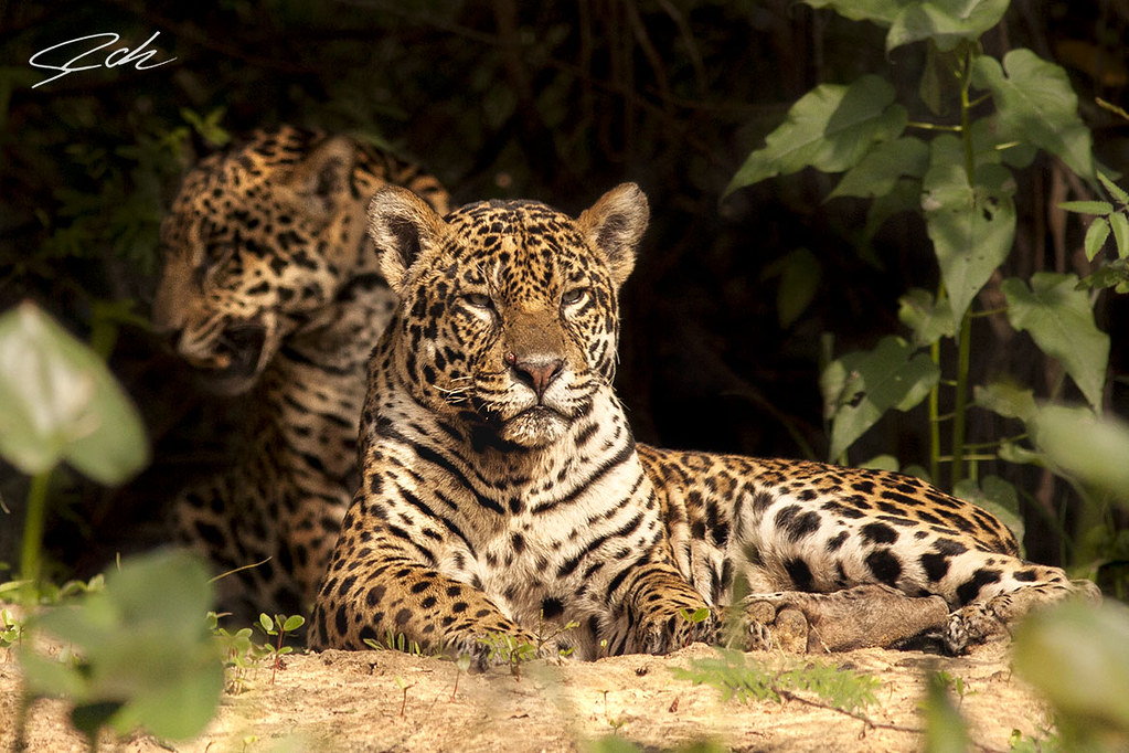 No one, two wild jaguars at the pantanal, the two brothers of 4 years old.