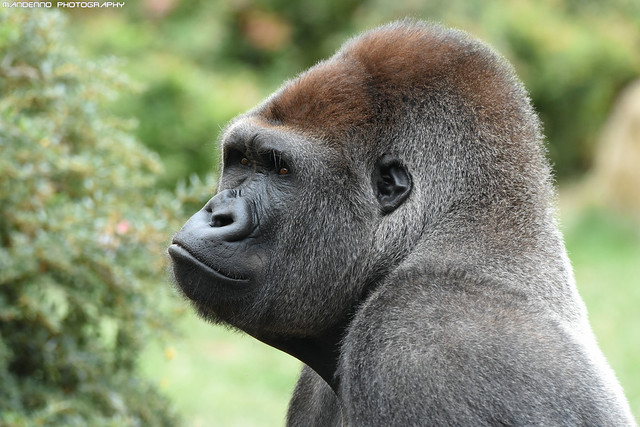 Gorilla - Zoo Amneville
