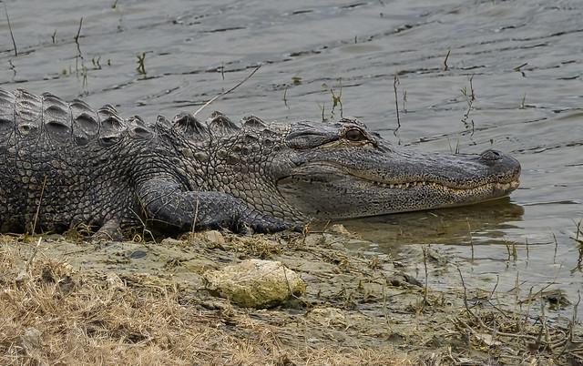 alligator_teeth_012320