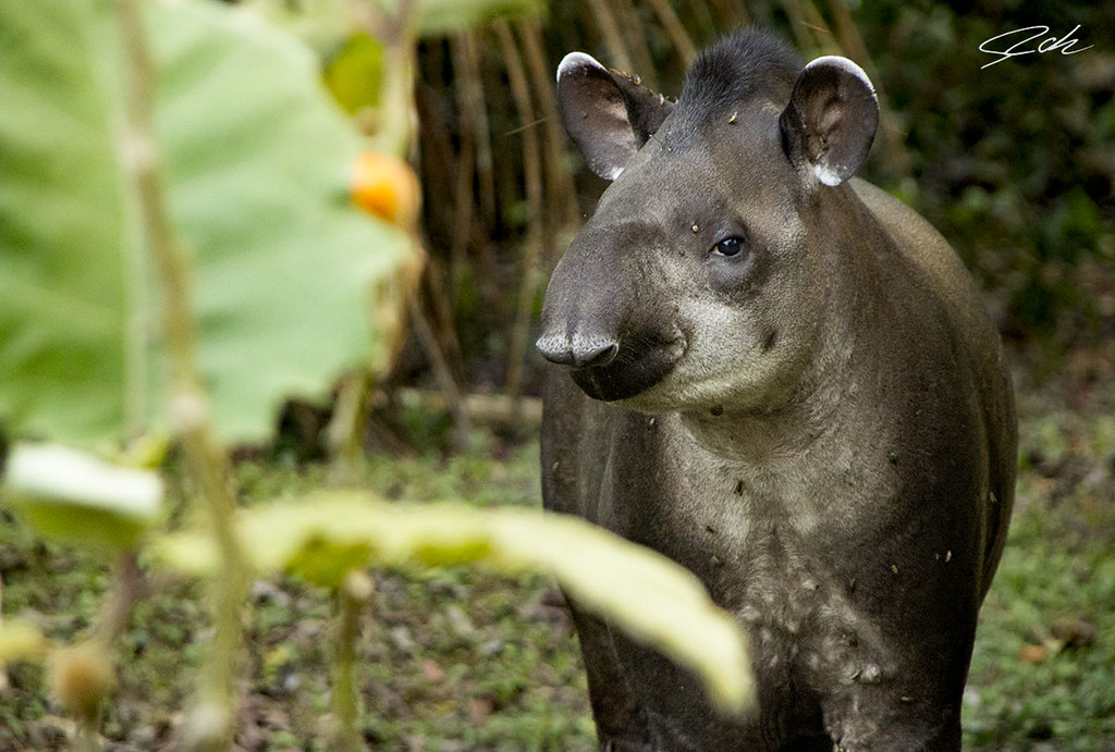 The biggest mamal of the rain forest is the tapir with 250 kg, these individual was watched at manu national park, Perú.