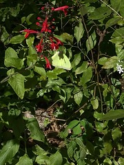 cloudless sulphur (Phoebis sennae) feeding on Tropical sage (Salvia coccinea)