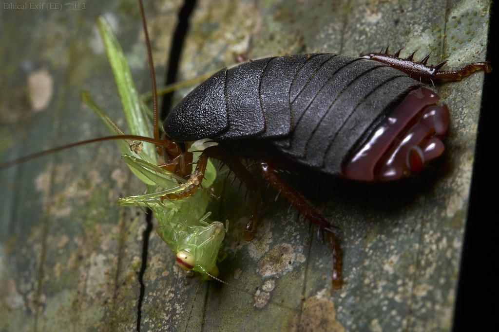 Cockroach feeding on predaceous katydid (Phlugis sp.)