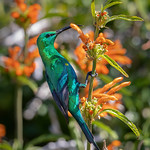 Malachite Sunbird (Lifer)