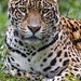 "<p><a href=""https://www.flickr.com/people/tambako/"">Tambako the Jaguar</a> posted a photo:</p> 	 <p><a href=""https://www.flickr.com/photos/tambako/49431284691/"" title=""Zoya looking straight at me""><img src=""https://live.staticflickr.com/65535/49431284691_7ebb423029_m.jpg"" width=""160"" height=""240"" alt=""Zoya looking straight at me"" /></a></p>  <p>She was looking straight at me and it was quite intense!</p>"