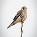Male Northern Kestral