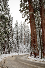 Christmas in Sequoia